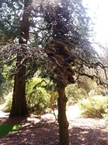 camperdown elm